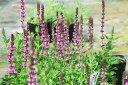 サルビア ネモローサ ローズ 苗 毎年楽しめる花でイングリッシュガーデン等に向く花 高さ20cmセンチ