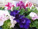 ペチュニア 八重咲き 3株セット 豪華な八重花が魅力 花芽付 植物 販売 ガーデン ガーデニング
