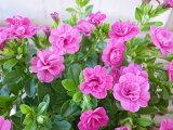 カリブラコア ティフォシー ダブル パープル 3.5号苗 花芽付 植物 販売 ガーデン ガーデニング