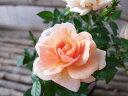 ミニバラ モカフェローズ3.5号 香良いアンティークカラーが魅力 花芽付 サーモンピンクからアプリコット クリームへと花色の変化