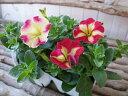 ペチュニア ハワイ アロハ 3.5号苗 これまでと違ったペチュニアを求めるこだわり派のあなたに 花芽付