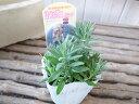 ラベンダー エレガンスピンク苗 珍しい優しいピンクの花 ハーブ イングリッシュガーデン