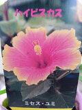 ハイビスカス ミセスユミ苗 ピンク オレンジの複色咲きが魅力の花