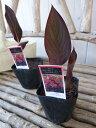 カンナ ブラックビューティー苗 銅葉が魅力 3.5号サイズのポット苗で高さ20cmセンチ