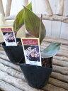 カンナ エンジェルマーティン苗 銅葉が魅力 3.5号サイズのポット苗で高さ20cmセンチ