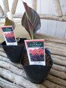 カンナ インゲボルグ苗 銅葉が魅力 3.5号サイズのポット苗で高さ20cmセンチ