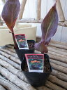 カンナ インディアンオレンジ苗 銅葉が魅力 3.5号サイズのポット苗で高さ20cmセンチ