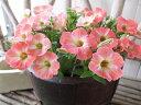 ペチュニア マンダリン 苗 試作の最新品種!半耐寒性多年草 花芽付3.5号サイズのポット苗