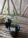 【ポイント10倍】オリーブ ネバディロブランコ 4号鉢 テーブルサイズ 観葉植物