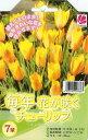 チューリップ ホンキートンク7球セット 植えっぱなしで毎年花が咲く ちゅーりっぷ 球根