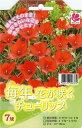 チューリップ リニフォリア7球セット 植えっぱなしで毎年花が咲く ちゅーりっぷ 球根