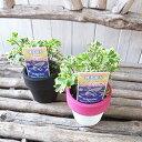 ポリシャス スノープリンセス 苗 2.5号サイズ 小型品種 常緑低木