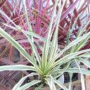 コルジリネ ダズラーディライト 葉色が魅力 4号サイズ 鉢植え グリーンとイエローのストライプが美しい品種 高さ40cmセンチ コルジュリネ
