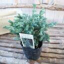 コニファー ボールバード 3号サイズ 苗 ブルーバード 観葉植物 常緑高木