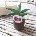 レア サンセベリア サムライドワーフ 3.5号デザイン鉢 珍しい 観葉植物 サンスベリア 高さcm20センチ