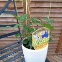 レモンマートル 鉢植え 4号サイズ ミラクルハーブ レモンより凄いレモンの香りで葉を摘むと素晴らしい香りが楽しめます ハーブ 販売 通販 種類