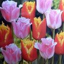 チューリップ球根 デュオチューリップ・ファンシーフリル&ダベンポート8球セット【チューリップ】【球根】【Tulip】販売 通販 種類【ちゅーりっぷ】