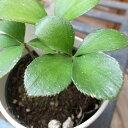 四つ葉のザミア 丸みを帯びた四つ葉が特徴ザミアの子株です ミニチュアサイズの観葉植物 販売 通販 種類【ラッキーシール対応】