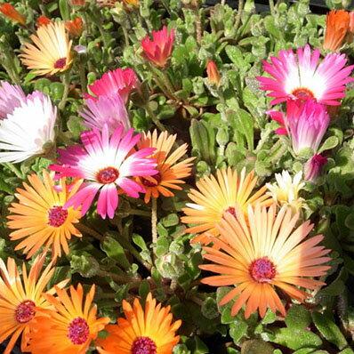 リビングストンデージー3株セット 色鮮やかな蛍光色が魅力で春花壇に最適 花苗 販売 通販 種類【ラッキーシール対応】