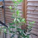 オリーブ ルッカ 生育旺盛で暖地ではシンボルツリーにも向く植物 販売 通販 種類【ラッキーシール対応】