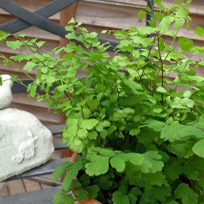 アジアンタム フリッツルーシー 4号サイズ 鉢植え 観葉植物 カンヨウショクブツ