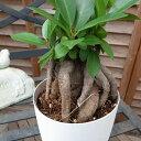 ニンジンガジュマル4号サイズ 鉢植え 沖縄の精霊キジムナーが宿るとされる不思議な木 販売 通販 種類 観葉植物