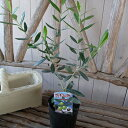苗木 オリーブ シプレシーノ 大苗 シンボルツリー 室内 観葉植物 販売 通販 種類 高さ40cm【ラッキーシール対応】