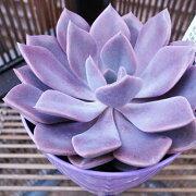 多肉植物 グラプトベリア デビー 3.5号サイズ 鉢植え タニクショクブツ 多肉女子 別名 パープルクイーン 水は控えめ管理の容易な植物【ラッキーシール対応】