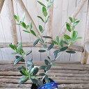 オリーブ サウスオーストラリアベルダル 3.5号 苗木 オリーブの木 観葉植物 高さ40cmセンチ【ラッキーシール対応】