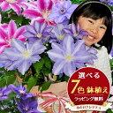7色から選べる クレマチス 5号サイズ 鉢植え 母の日 プレゼント 特大ボリューム満点 送料無料 鉢花 母の日ギフトフラワー 花 鉢植え ギフト母の日 送料込 あす楽対応 母の日