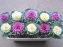 ハボタンの寄せ植え『切花種 長方形』【送料無料】