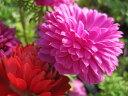 アネモネ苗 八重咲き 『りりか』3個セット花色おまかせ