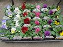 中輪パンジー よく咲くスミレ24苗セット 【送料無料】