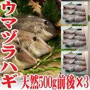 【あす楽】 山形県産 ウマヅラハギ 500g4?6尾×3パック 冷凍 鮮魚セット カワハギ ウマズラ