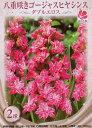 花の球根 八重咲き ゴージャスヒヤシンス ダブルエロス 2球 05P03Dec16