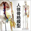 【送料無料】人体模型 精密 医療用 人体骨格模型(心臓・血管付きモデル) 85cm ENOVO