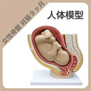 【送料無料】精密 人体模型  女性骨盤 妊娠9ヶ月