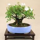 【送料無料】 野薔薇 - 小町 - (照葉ノイバラ 極小葉) 小品盆栽 【いよじ園 伊予路園】