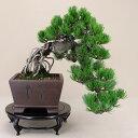 【送料無料】 五葉松 - 宮島 - 中型サイズ 希少懸崖樹形 (松盆栽)いよじ園