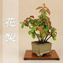 数量限定【送料無料】 カリン / 花梨(小葉性)ミニ盆栽 【いよじ園】