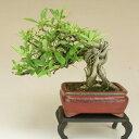 【送料無料】 ピラカンサ 根上り 小品盆栽 【雑木盆栽】いよじ園