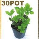 フッキソウ 苗 緑葉富貴草 常緑性 宿根草 おしゃれな庭に 人気の ガーデンプランツ 苗 ガーデニング 植木組合より産地直送