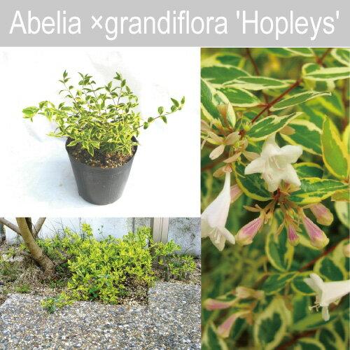 アベリアホープレイズ15cmポット入り高さ約20cm設計士さんが使うオシャレな樹(PVP)常緑低木フ