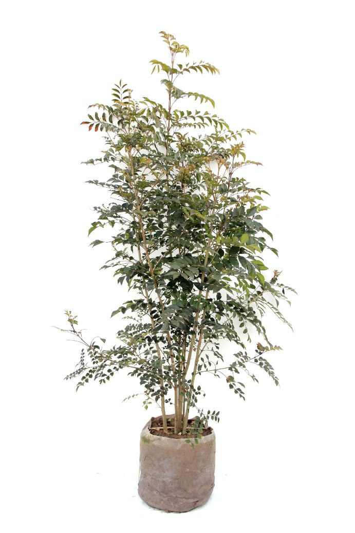 シマトネリコ株立ち大株高さ鉢上約15m背丈サイズの大株常緑高木おしゃれな庭に人気の植木庭木シンボルツ