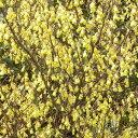 日向水木(ヒュウガミズキ) 高さ約40cm