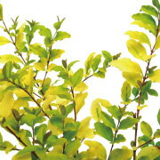 送料無料 10本セット プリペット レモンアンドライム 高さ約30cm 【洋風 生垣添え木に】