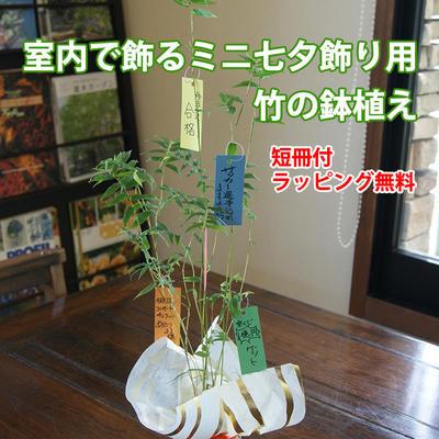 【送料無料】七夕飾りのミニバンブー(短冊付き)...:auc-kajuaru:10000481