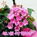 におい桜 ルクリア 4寸 4号 花 送料無料 アッサム ニオ...