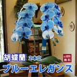 青い胡蝶蘭『ブルーエレガンス』2本立