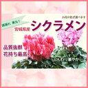 シクラメン 5号 送料無料 【 色が選べる シクラメン 5寸 】 フラワーギフト 鉢植え 鉢 ギフト